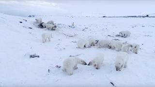 Oltre 50 orsi polari affamati invadono il villaggio in Russia