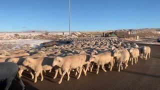 Usa: l'automobilista sorpreso da migliaia di pecore