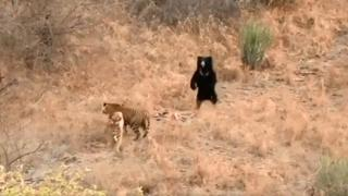 L'orso affronta due tigri affamate in un parco nazionale in India