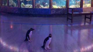 Coronavirus: i pinguini esplorano l'acquario rimasto vuoto