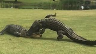 La impressionante lotta tra  due alligatori alla buca 18