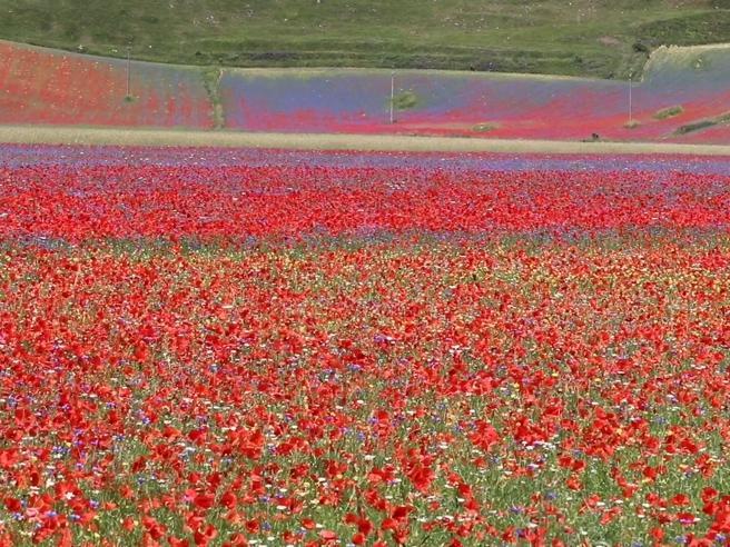 ACastelluccio di Norcia,la fioritura arcobaleno: come un quadro ai piedi del monte Vettore