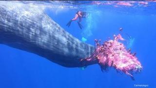 Capodoglio impigliato in una rete di pesca illegale alle Isole Eolie, le operazioni per liberarlo