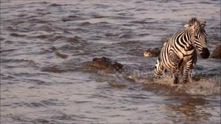 La zebra attaccata  dal coccodrillo, ma il finale è un colpo di scena