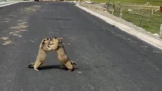 Le due marmotte in mezzo alla strada se le danno di santa ragione