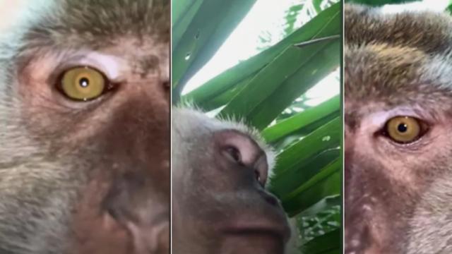 Malesia, la scimmia ruba un cellulare e si fa un video selfie - Corriere TV