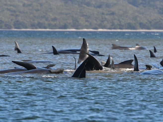Australia, centinaia di balene spiaggiate in Tasmania: bloccate su banchi di sabbia