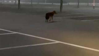 C'è un lupo che si aggira nel parcheggio della Barilla