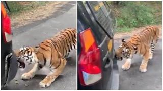 La grossa tigre del Bengala stacca il paraurti del fuoristrada dei turisti
