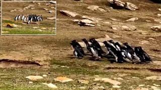 Due gruppi di pinguini si fermano «a chiacchierare» e uno un po' distratto se ne va con il gruppo «sbagliato»