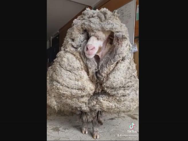 Baarack, la pecora con 35 kg di vello