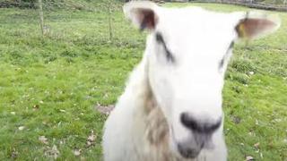 L'allevatore usa il drone per gestire il gregge, ma le pecore non ci stanno