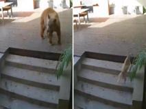 L'orso messo in fuga dai due piccoli cani di casa