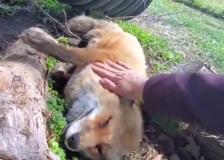 Una volpe si lascia accarezzare mentre dorme, una scena da Piccolo Principe