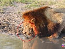 Il leone intimidito dall'arrivo della piccola tartaruga, smette di bere e se ne va