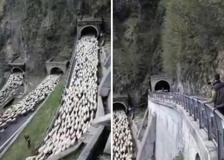 Le immagini spettacolari della transumanza in Veneto
