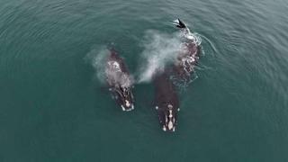 L'«abbraccio» tra due balene a rischio estinzione nell'Oceano Atlantico
