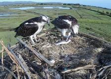 I falchi pescatori tornano nell'Oasi Wwf di Orbetello per nidificare