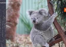Un koala abbraccia la sua «mamma» umana