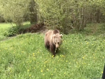 Friuli-Venezia Giulia, l'automobilista filma l'orso che si avvicina senza paura