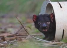 Diavolo della Tasmania, nati  cuccioli in Australia dopo tremila anni