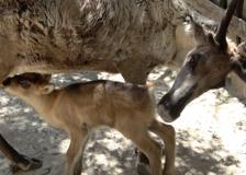 Bussolengo, nato un piccolo di renna. Ma la specie è in pericolo a causa del cambiamento climatico