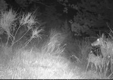 Quando la «trappola» è una macchina fotografica: protagonista una cerva che allatta il suo cerbiatto
