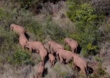 Cina, continua il viaggio del branco di elefanti verso sud-ovest