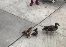 Usa, mamma anatra e i suoi cuccioli per le vie dello shopping di New York