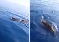 Sicilia, cinghiali nuotano in alto mare: lo stupore del pescatore