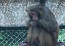 La nuova vita del macaco Lucio: si gode la prima pioggia