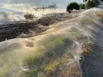 Australia, chilometri di ragnatele coprono i campi di Victoria