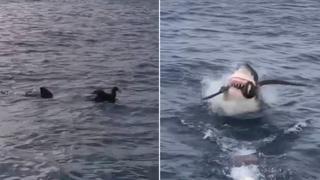 Il momento in cui un grande squalo bianco agguanta e divora un uccello davanti ai turisti