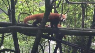 India: nati due cuccioli del raro panda rosso, la mamma li protegge dagli intrusi