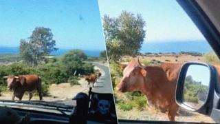 «Scusi, mi sa indicare la strada?»: la reazione della mucca è tutta da ridere