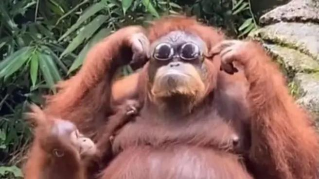 Gli occhiali da sole cadono nel recinto dello zoo, l'orango li prende e se li mette
