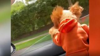 Via col vento: il cagnolina vola dal finestrino dell'auto in corsa