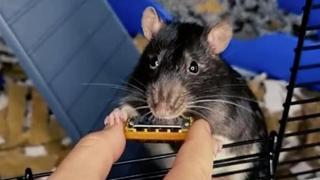 Il topolino che suona l'armonica più piccola del mondo è una hit su Spotify