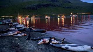 Faroe, delfini massacrati: la mattanza della caccia Grindadrap: orrore e indignazione sui social