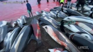 Strage di delfini alle Faroer: si ripete il tradizionale massacro