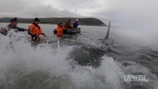 Russia, il salvataggio di un cucciolo di orca