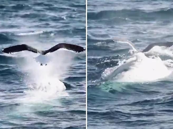 Un gabbiano plana sulla schiena di una balena prima di tuffarsi di nuovo sotto le onde