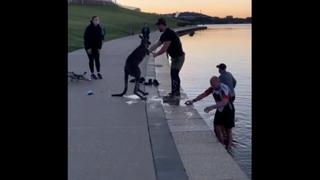 Il canguro salvato dalle acque gelide di Canberra ringrazia i suoi soccorritori