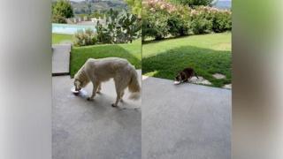 Otto, il gatto che «studia» i suoi amici cani