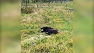 Alaska, i due orsi fratelli si addormentano insieme