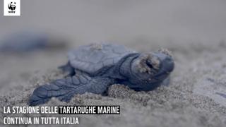 La lunga estate delle tartarughe: ancora in corso la schiusa in Sicilia e Calabria