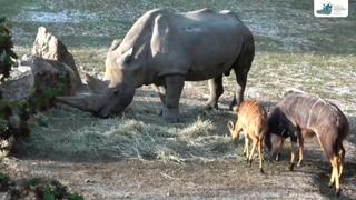 È morto in uno zoo italiano il rinoceronte bianco più vecchio al mondo, aveva 54 anni