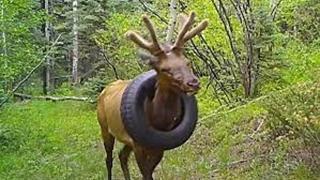 Cervo con pneumatico incastrato al collo liberato dopo due anni di sofferenza