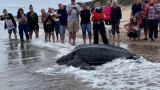 Tartaruga di 272 chili rimane bloccata nel fango: le immagini del salvataggio