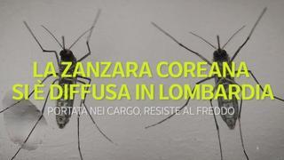 La zanzara coreana si è diffusa in Lombardia